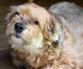 havanese rescue virginia 521 best images about adoptable dogs mostly havanese on adoption kern