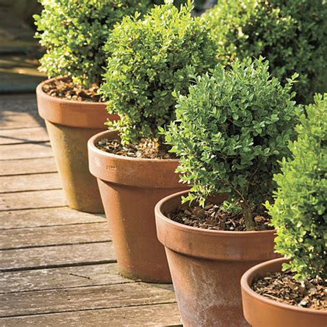 Boxwoods In Planters by Boxwoods For Pots Southern Living