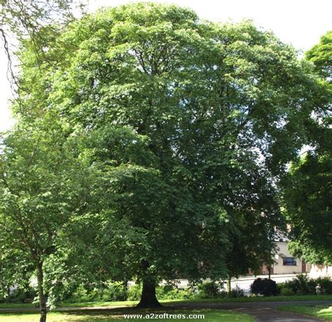 trees uk kayat kandi the ohio buckeye tree