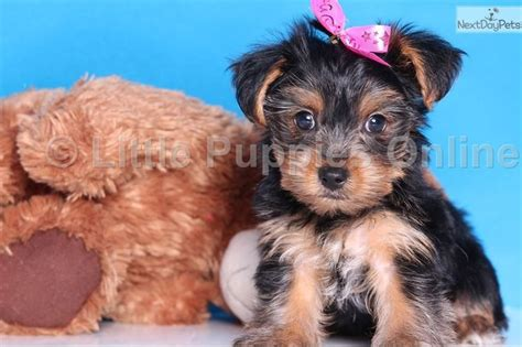 teacup yorkies for sale in columbus ohio 111 best tiny yorkie puppies for sale images on yorkie puppies