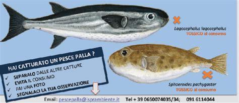pesce palla cucina pesce palla maculato tossico egnews oliovinopeperoncino