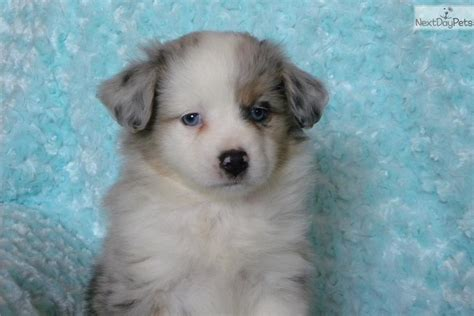 puppies for sale sioux falls sd miniature australian shepherd puppy for sale near sioux falls se sd south dakota
