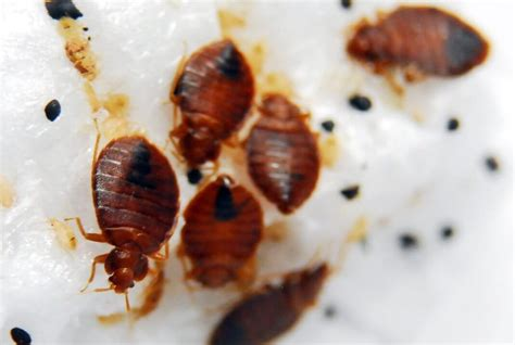 Do Bed Bugs Die With by Where Do Bed Bugs Come From Bed Bug Facts