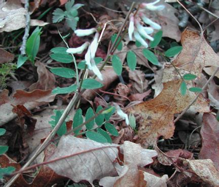 vicia caroliniana wild vetch
