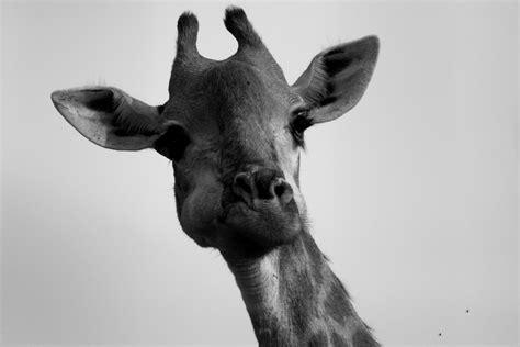 black and white animals animals black and white 10 free wallpaper