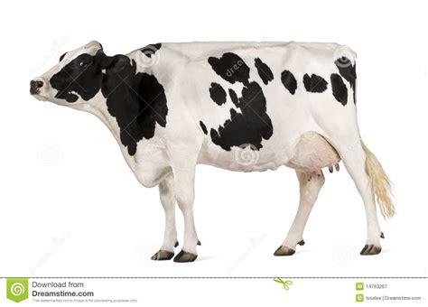 imagenes de vacas sin fondo vaca de holstein 5 a 241 os coloc 225 ndose fotograf 237 a de