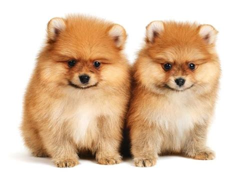 cesar millan pomeranian 143 best images about pomeranians and bichon frises on black pomeranian