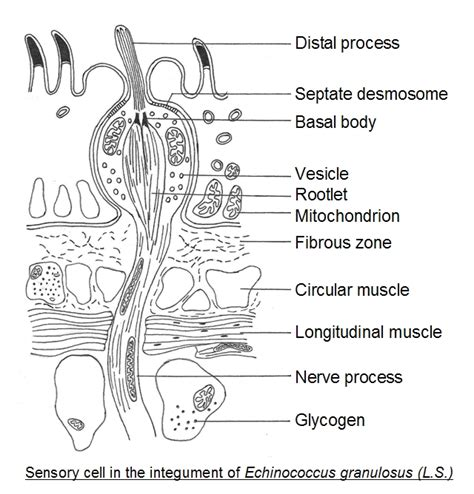 tapeworm diagram the gallery for gt tapeworm cycle diagram