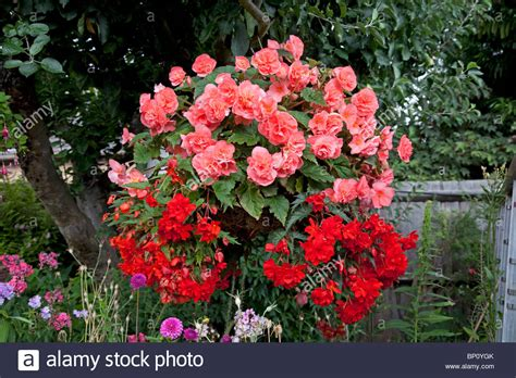 Pink Begonia Flowercrown colourful display of pink begonia flowers in garden of small bungalow stock photo royalty free