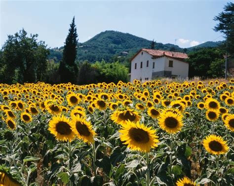 field of sunflowers tuscany italy wall art traditional