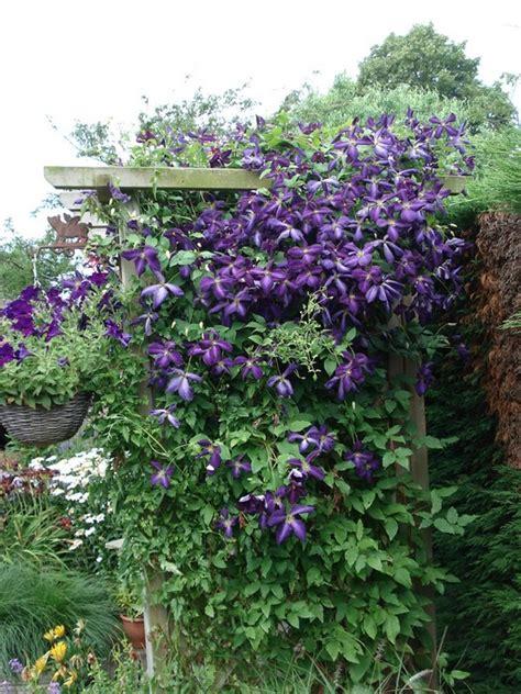 clematis viticella etoile violette 4887 bosrank clematis viticella etoile violette planten