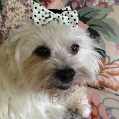 havanese rescue md havanese rescue dogs on adoption northern california and havanese puppies