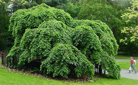 elm tree symbolism ulmus glabra cerdownii