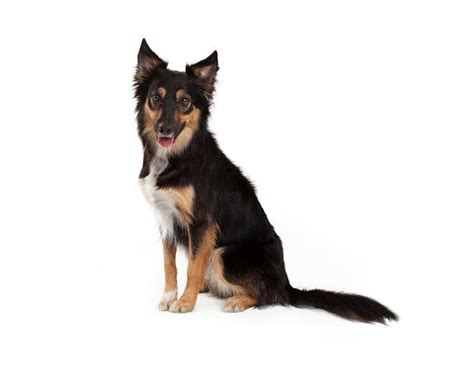 miniature german shepherd the miniature german shepherd the about this mythical