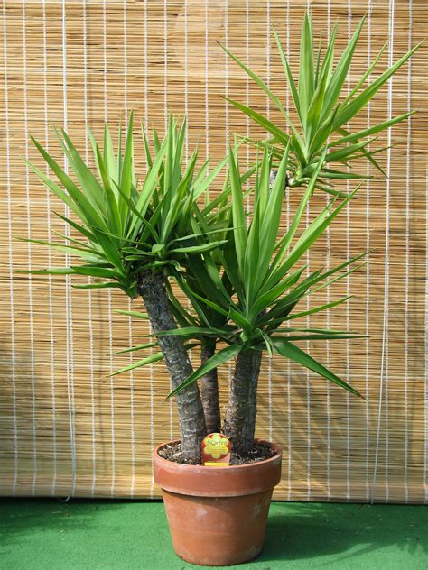 Plante D Appartement D Origine Tropicale by Plantes D Int 233 Rieur