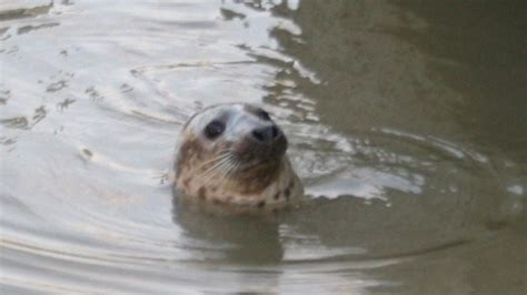 thames river animals seal spotted in river thames london itv news