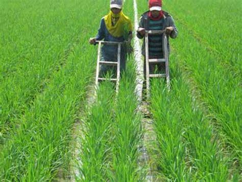 macam macam gulma rumput padi sawah cara membasmi gulma