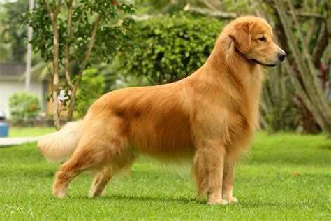 distichiasis golden retriever fotos golden retriever animais cultura mix