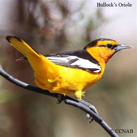 orioles north american birds birds of north america