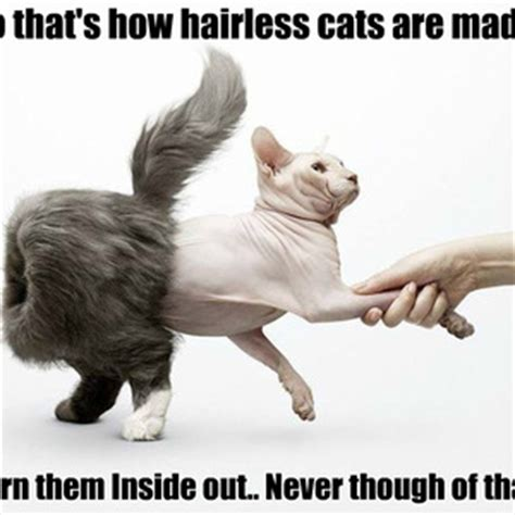Sphynx Cat Meme - related keywords suggestions for hairless cat meme