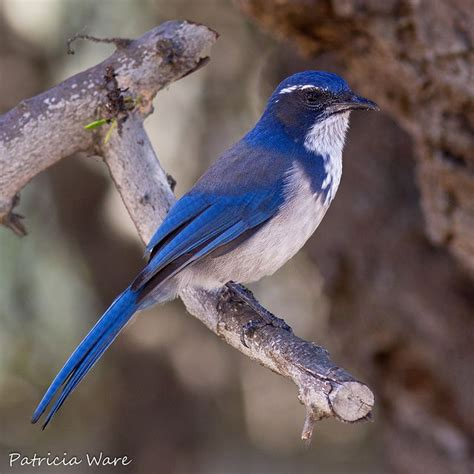 western scrub jay lovely birds pinterest