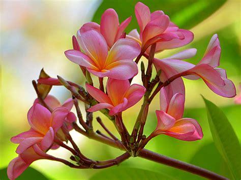 wallpaper bunga jepun contoh gambar bunga jepun contoh oliv