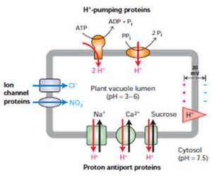 Generation Of Proton Gradients Across Membranes Occurs During Uptake Of Ca 2 And Na Into The Vacuole From The Cytosol
