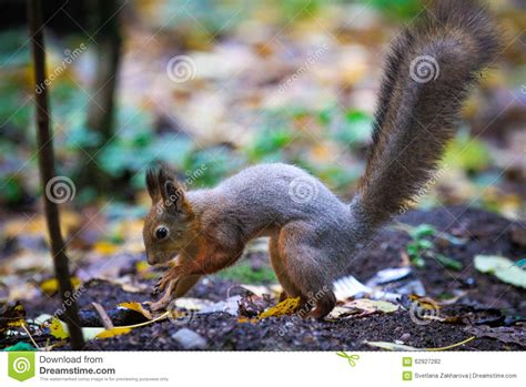 squirrel hides nut in in the forest squirrel hides nuts for the winter stored stock photo image 62927282