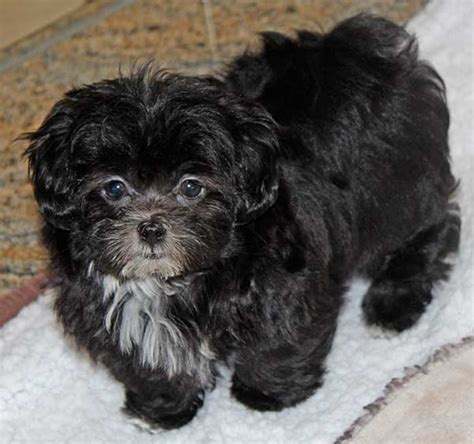 shih tzu peekapoo mix malshi poo puppy for sale in boca raton south florida