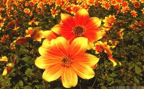 flower fall fall flowers wallpaper 25 hd wallpaper hdflowerwallpaper com