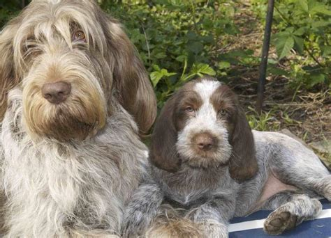 spinone italiano puppy spinone italiano italian spinoni breed info k9 research
