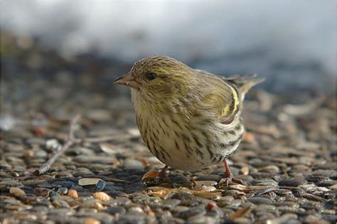 brutzeit vögel tabelle zeisig carduelis spinus info a z die vogelarten auf