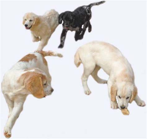 rottweiler rescue mn mini sport retriever kelowna dogs in our photo