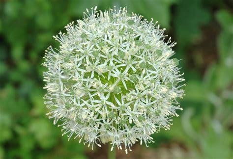 romantic flowers allium flowers