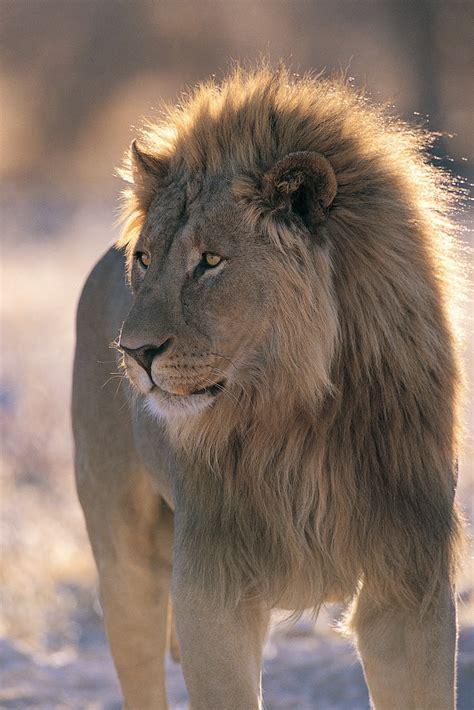 imagenes de leones gratis banco de im 193 genes animales salvajes 16 fotograf 237 as en