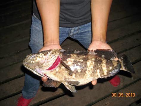 Pancing Malaysia tips pancing ikan kerapu info joran