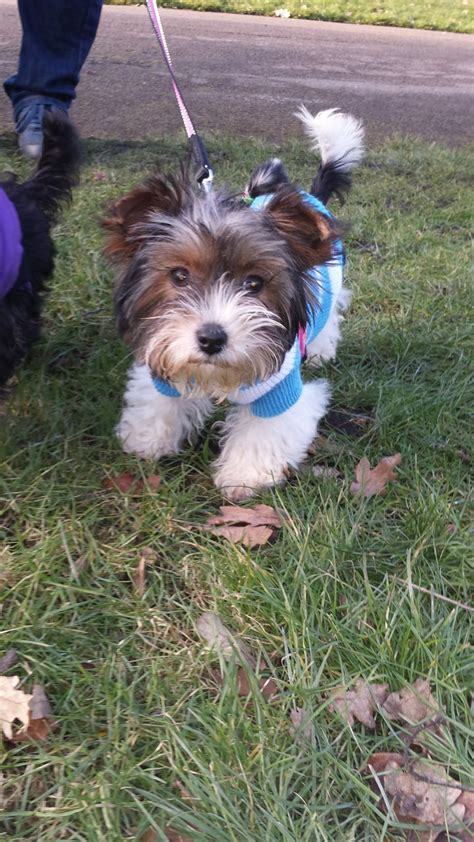 biewer yorkie for sale california tiny biewer terrier for sale nottingham nottinghamshire pets4homes