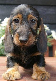 miniature haired dachshund puppies 4847 best images about i dachshunds on see best ideas about weenie