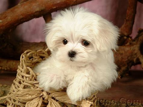 images of maltese puppies puppies images cuddly fluffy maltese puppy wallpaper and background photos 13986010
