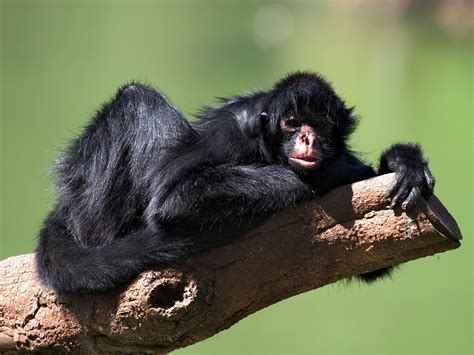 black monkey hugging to a tree black spider monkey free images at