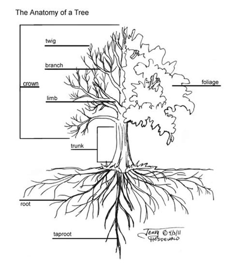mulberry tree root system diagram bing images
