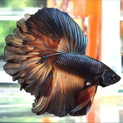 Betta Fish Hm Live Betta Fish Copper Mustard Gas Rosetail
