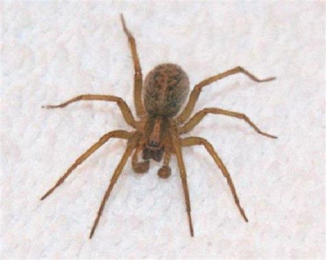 aggressive house spider hobo spider dangerous spiders in the world