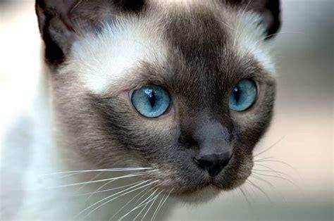 gatto siamese alimentazione gatto siamese prezzo e carattere idee green