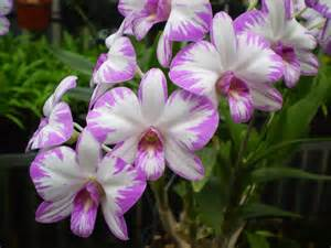 my orchids journal dendrobium bigibbum in flower