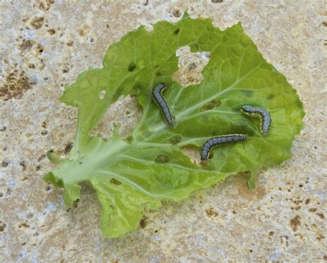 Worms In Vegetable Garden Brassica Pest Cross Striped Cabbage Worm A Way