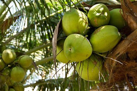 pianta di cocco da appartamento come coltivare la palma da cocco pollicegreen
