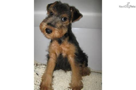 Non Shedding Terriers by Owners Guide Profile Wheaten Terrier Breeds Picture