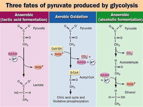 pyruvate oxidation diagram pathways
