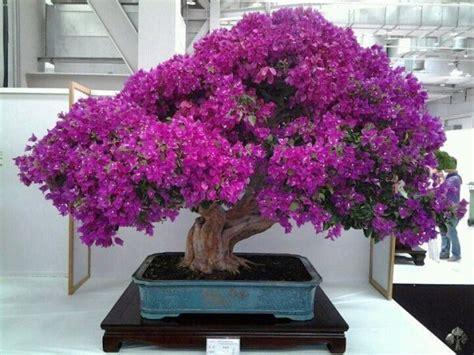 libro bonsai the art of bougainvillea by lorna toledo bonsai and kusamono bougainvillea tree cactus and